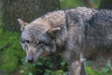 Wolf (Canis lupus).